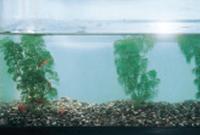金魚を使った安全性試験